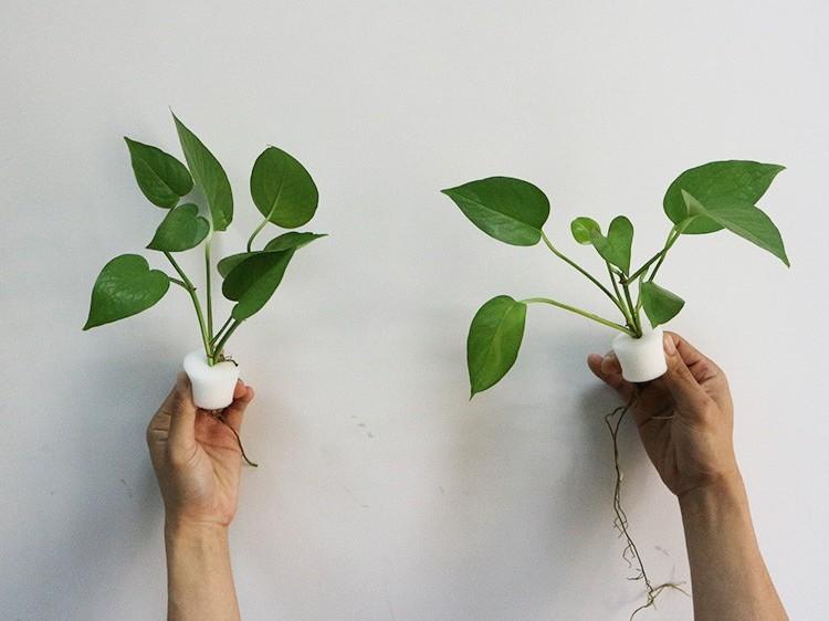 种植海绵与普通海绵无土养植有什么不同?